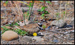 Title: Killdeer and her eggs