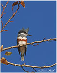 Title: Belted Kingfisher