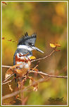 Title: Belted Kingfisher #2