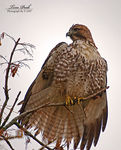 Title: Red Tail Hawk