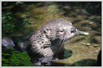 Title: North American Otter