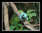 Title: Chinese gliding tree frog