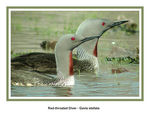 Title: Red-throated Diver