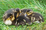 Title: Young Mallards