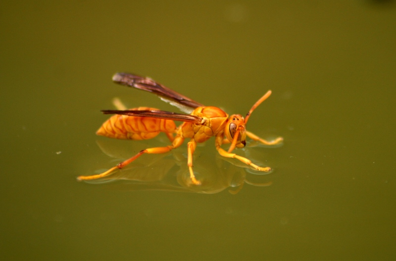 Watery Wasp