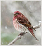 Title: Purple Finch in April Snow