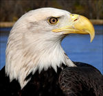 Title: American Bald Eagle