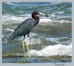 Title: Little Blue Heron