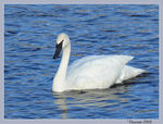 Title: Trumpeter Swan