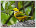 Title: Silver-throated Tanager