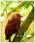 Title: Chestnut-colored Woodpecker *100th Post*