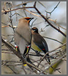 Title: Bohemian and Cedar Waxwings