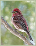 Title: Purple Finch