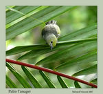 Title: Palm Tanager