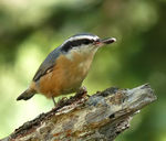 Title: Red-breasted NuthatchPanasonic DMC-FZ50