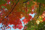 Title: A maple in autumn