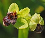 Title: Ophrys bombyliflora