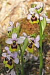 Title: Ophrys grandiflora