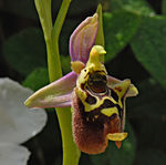Title: Ophrys holosericea