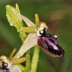Title: Ophrys incubacea