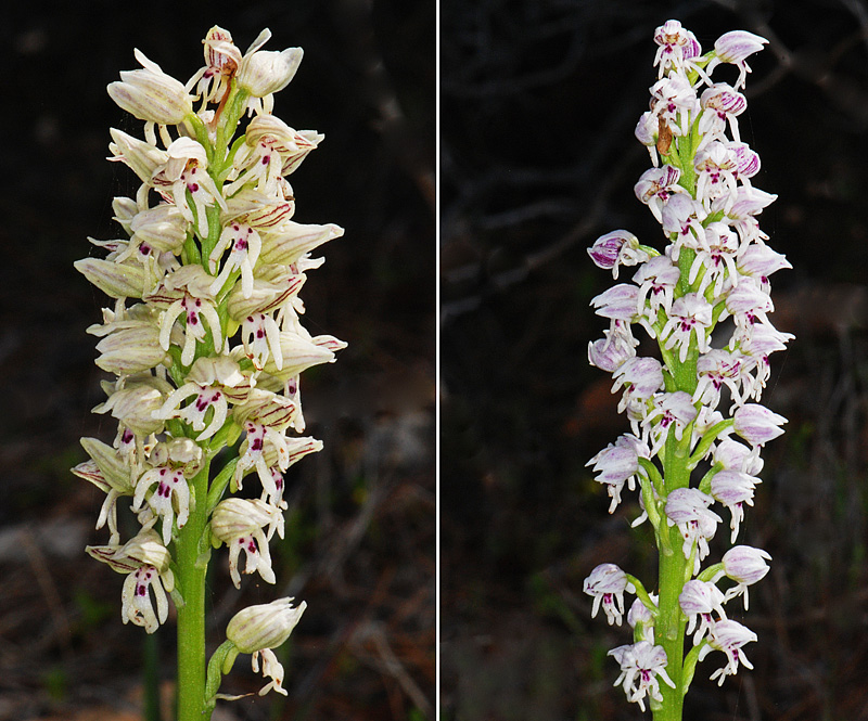 Orchis galilaea