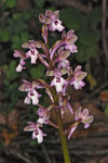 Title: Orchis israelitica