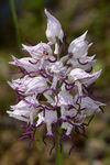 Title: Orchis simia