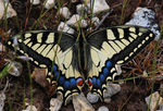 Title: Papilio machaon syriacus_02