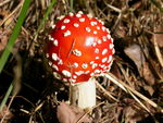 Title: Amanita Muscaria (Fly Agaric)
