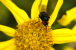 Title: Red-eyed nectar-hungry fly