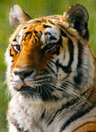 Title: Indian Tiger