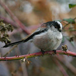 Title: Long tailed Tit
