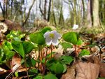 Title: Common wood sorrel