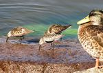 Title: Duck and Dunlins