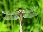 Title: Blue-Backed Dragonfly