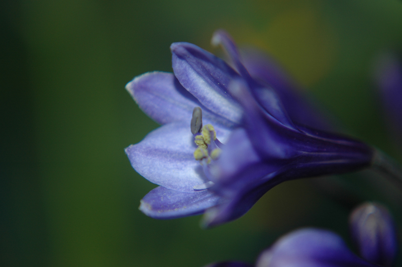 Agapanthus (lily)