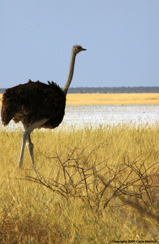 Ostrich at the pan