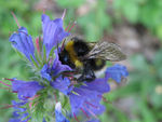 Title: bumble-bee