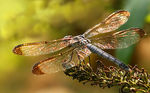 Title: Shining Dragonfly