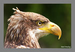 Title: A not so bald - Bald Eagle