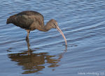 Title: Glossy Ibis