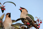 Title: waxwings