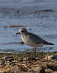 Title: Black-bellied Plover
