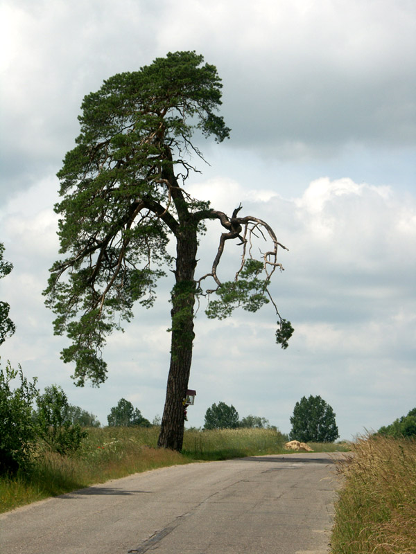 Tree after thunder
