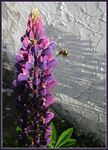Title: Bumblebee and lupin...