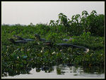 Title: Caimans in Pantanal...