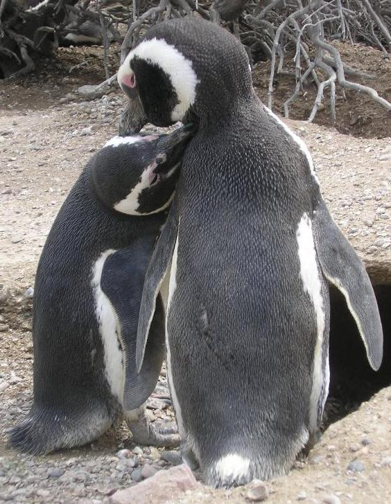 Pinguin-love...