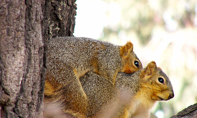 Squirrels mating