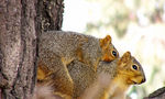Title: Squirrels mating