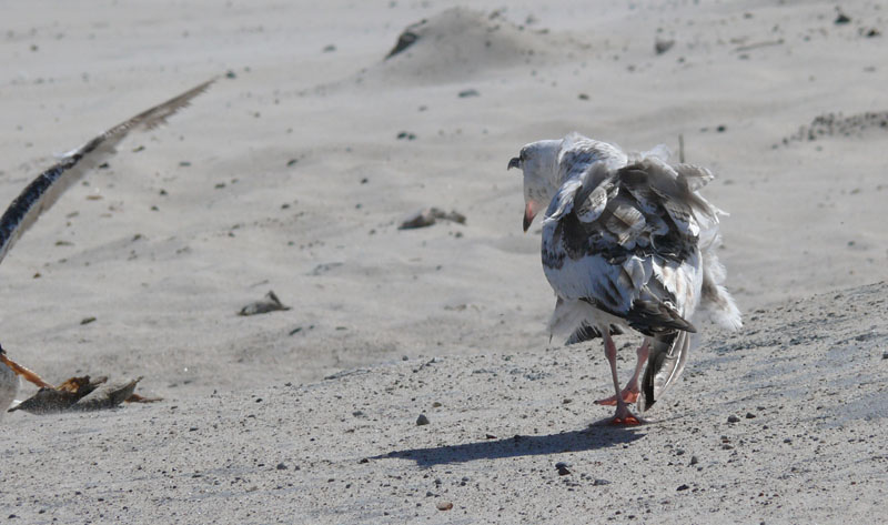 Fighting Seagull